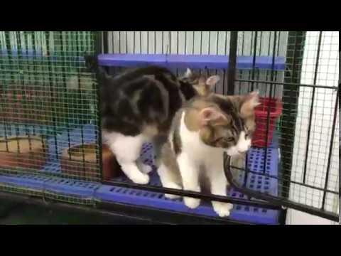 D'Kash Catabunga Male &  Tempura Male From Kurulian Bobtail Cat Breeds