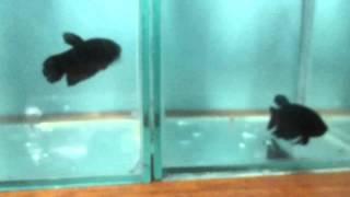 การผสมพันธุ์ปลากัดหม้อ คลิป ๑