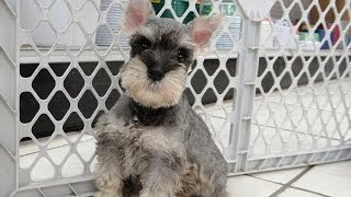 Mini Schnauzer Puppies, For, Sale, In El, Paso, Texas, Tx, Temple, County, La, Porte, Socorro