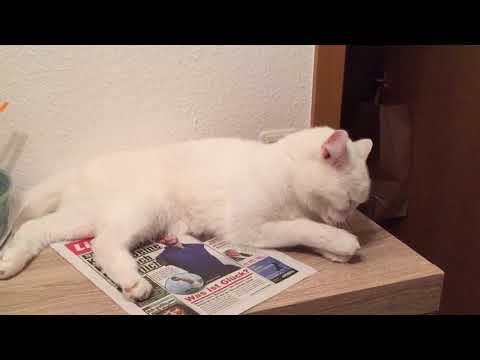 Армянский кот Ван