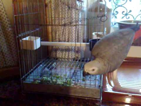 Tommy the Maltese African Grey