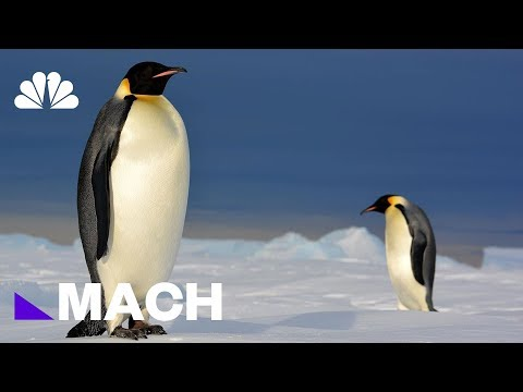 Are Penguins Eating Enough? | Mach | NBC News
