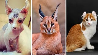 The Most Expensive Cat in the World / Top 20 Most POPULAR Cat Breeds in the World