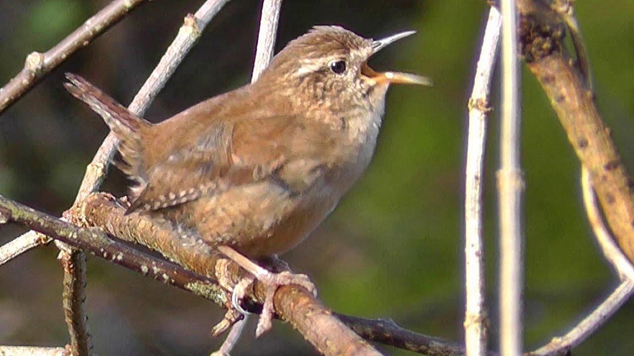 wren birds singing amazing slowed audio bird song youtube
