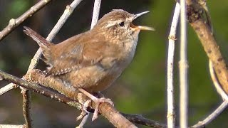 Wren Birds Singing with Amazing Slowed Down Audio - Bird Song