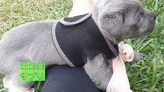 チャンネル登録はこちら→https://goo.gl/cUgUX4 犬は歩けて当たり前、走...