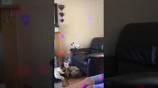 Siamese Kitten Falling