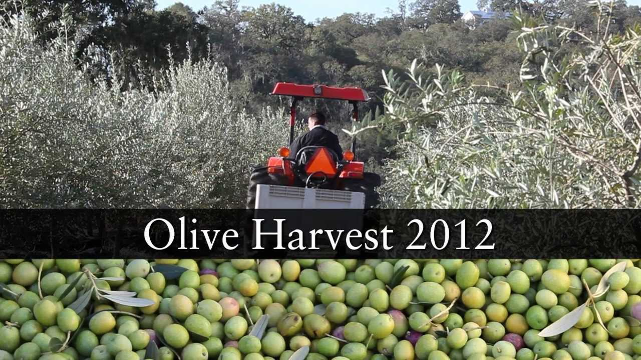2012 California Olive Harvest | Jordan Winery Sonoma Olive Oil