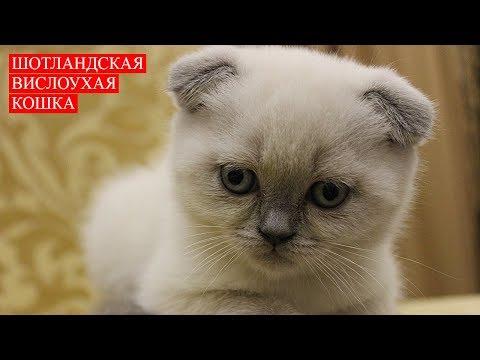 Шотландская Вислоухая Кошка | Scottish Fold Cat