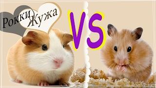 Хомки VS Морские свинки. 10 пунктов. Hamster or guinea pig?