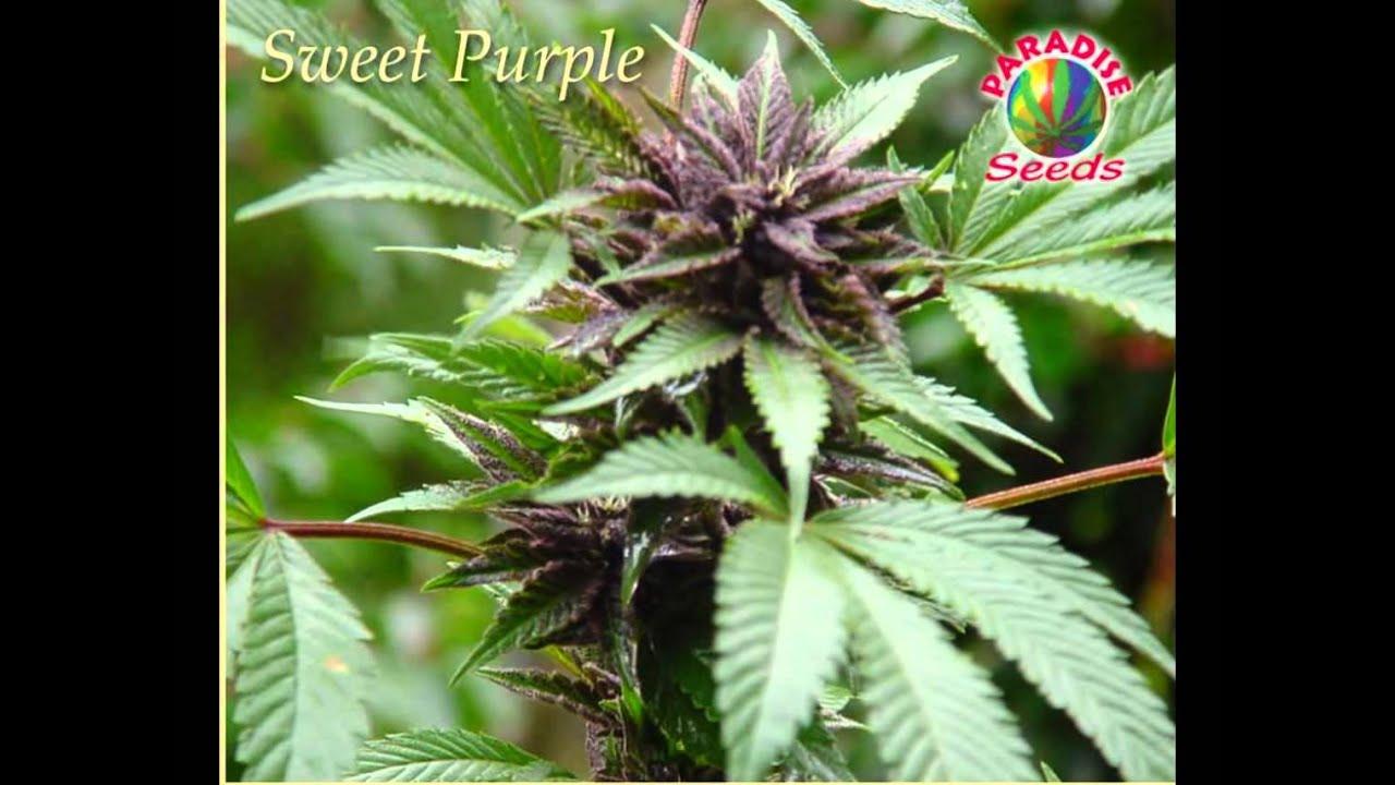 Fotos de diferentes tipos de plantas de marihuana 81
