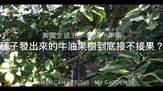 種子發出來的牛油果樹到底結不結果?