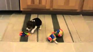 Pocket Beagles For Sale