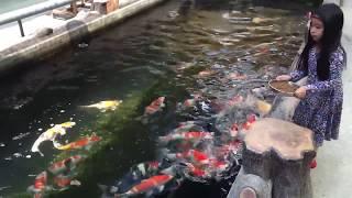Cho cá chép Nhật ăn ở Ruby Koi Farm.Việt Nam