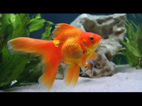 Cr a y reproducci n de peces ornamentales bailarinas y for Cria de peces en cautiverio