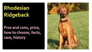 Rhodesian Ridgeback.  Pros and cons, price, how to choose, facts, care, history
