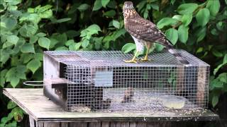 Accipiter on the Sparrow Trap