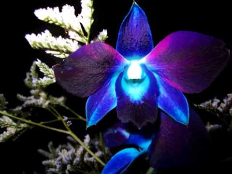 Popular Collection Of Blue Orchid Flower Pictures Romance Youtube