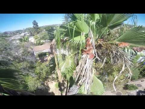 Trimming 3 mexican fan palm