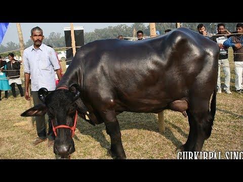 Murrah buffalo competition ring at NDRI Karnal Haryana by