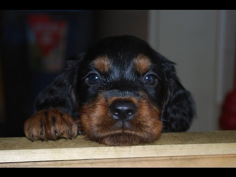 Gordon Setter puppies after Q-Lee and McCord