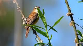 Голоса птиц: камышовка - барсучок