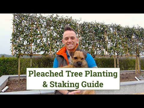 Pleached Trees Planting & Staking Guide