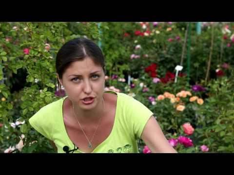 Элитные саженцы роз из питомников Европы. МОЙ САД на телеканале Дача