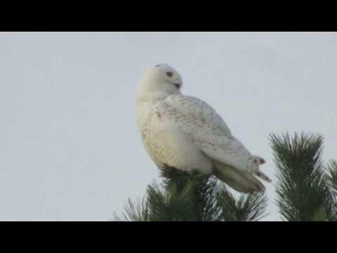 Snowy owl, Belle Isle Reservation East Boston, MA