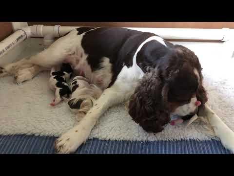 Artist Wood Springer Spaniels: Bella's Babies 2 days old