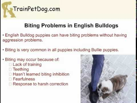 aggression,-biting-and-chewing-in-english-bulldog-puppy