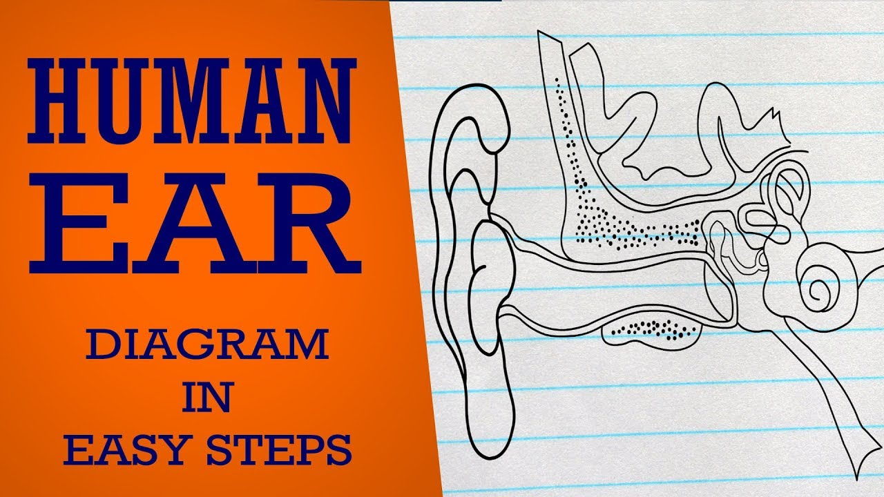 How to draw human ear in easy steps neural control coordination ear eardigaram cbsesyllabus ccuart