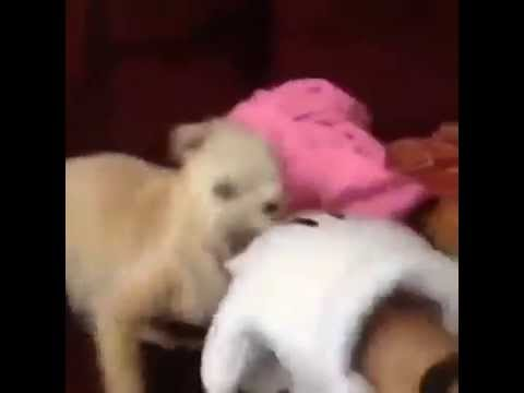 dog attacks Mickey