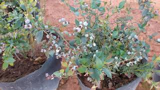 Trồng cây việt quất ở việt nam. Grow blueberry in tropical climate.