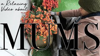 Planting Mums for the Season ~ Relaxing Outdoor Decorate #withme