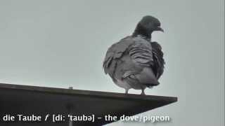 Animals: Die Taube (The Dove) - Learn German easily