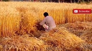Pind Life In Punjab   Natural Village Life In Pakistan