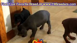 Doberman Pinscher, Puppies, For, Sale, In,omaha ,nebraska, Ne,lincoln, Bellevue, Grand Island