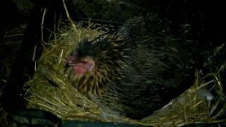 Kwoki i kaczka na jajkach