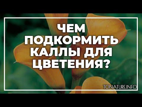 Чем подкормить каллы для цветения? | toNature.Info