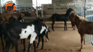 BAKRIWALE & NIDHI GOATFARM FULL FARM  1ST VIDIO @ NEAR MIRAJ GOATFARMING