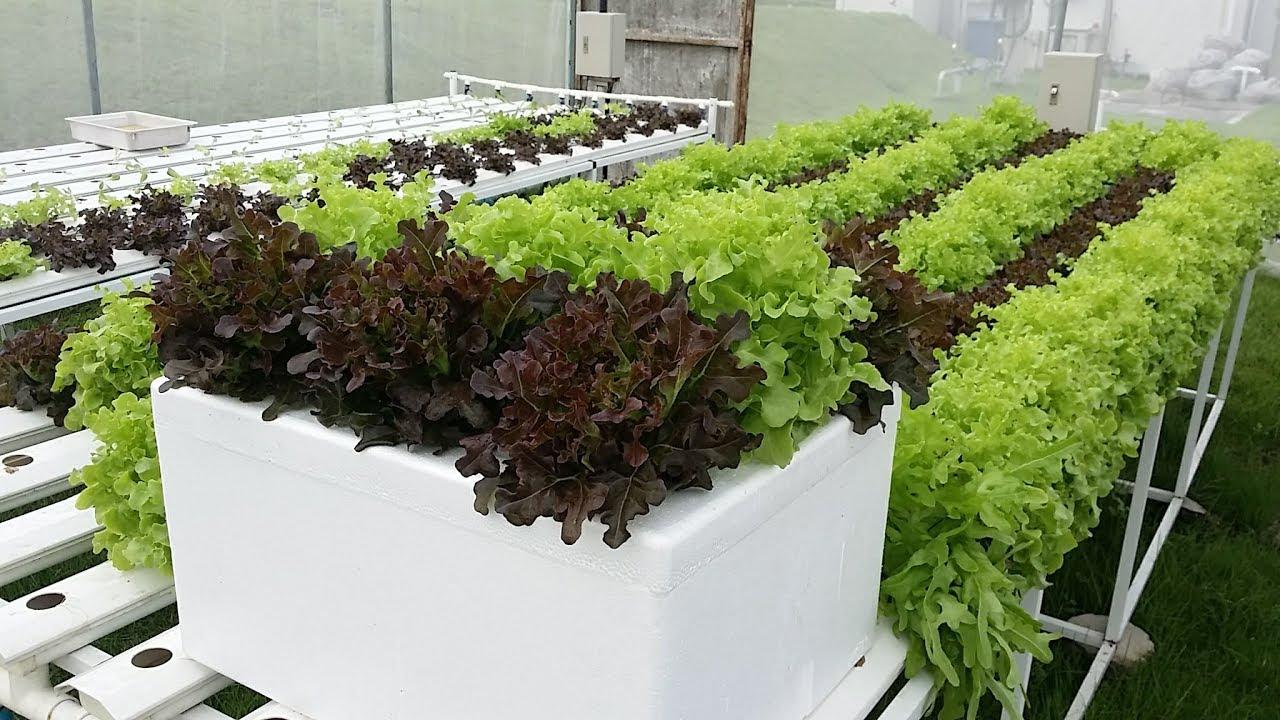 ปลูกผักไฮโดรโปนิกส์ น้ำนิ่ง ในกล่องโฟม ง่ายๆ ทำเองที่บ้านได้