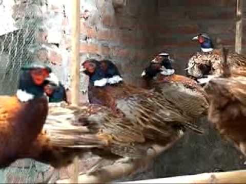 Mô hinh nuôi chim trĩ ở Đan Phượng
