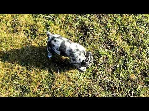 Aussiedor puppies 6 Weeks old