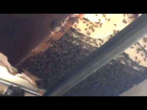 Bee removal phoenix   Bee hive removed   Rio Verde arizona Honey