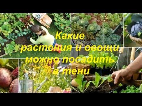 Какие растения и овощи можно посадить в тени- What plants and vegetables can be planted in the shade | теневыносливые | картофель | баклажаны | растения | посадить | культуры | хвойные | помидор | огурец | огород
