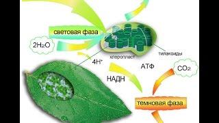 Темновая фаза фотосинтеза(, 2015-12-04T14:20:11.000Z)