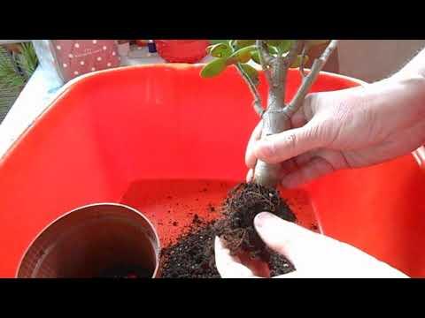 🌳Ответ. Погибает растение Толстянка или Денежное дерево.🌳