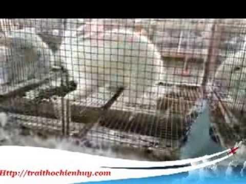 Hướng dẫn phối giống cho thỏ