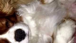 Louie The Cavalier King Charles Spaniel Snoring On The Couch